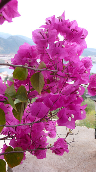 Hot pink bouganvillia in landscaped gardens