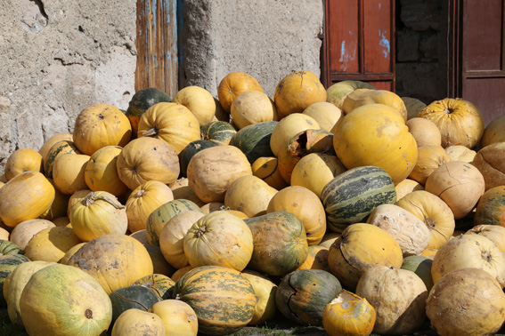 Pumpkins in the sun, grown for their seeds in Turkey