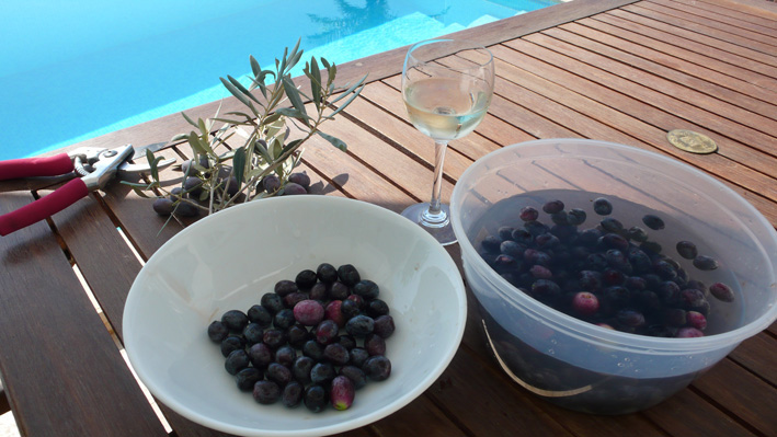 Olives picked from trees in private garden of Kalkan villa rental