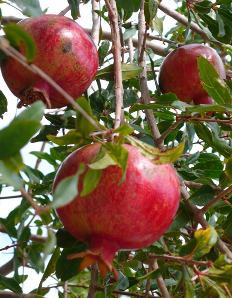 Ripe pomegranite growing in private villa garden